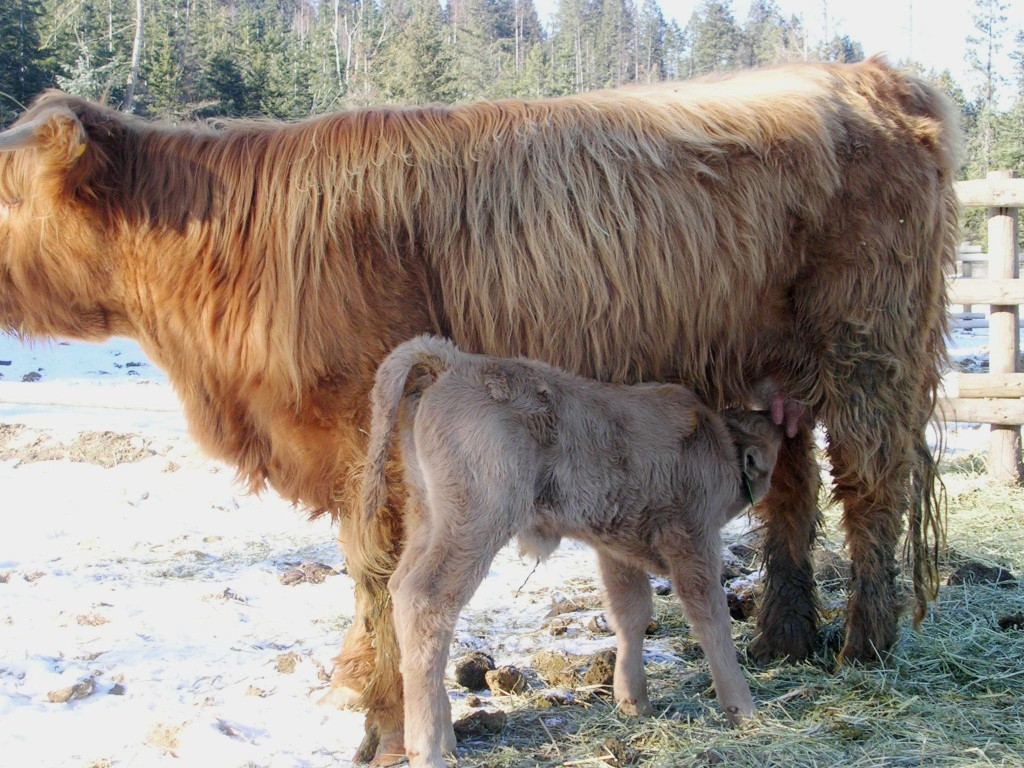 The long haired HighMont cattle. Courtesy of Blacktail Mountain Ranch