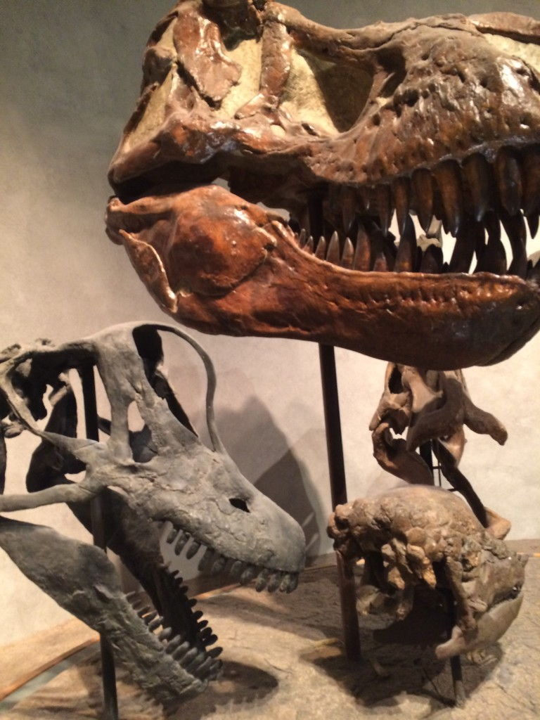 Good dinosaur skull comparison at the Denver Museum of Nature and Science.